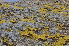 yellow & rocks (borkur.net) Tags: iceland moss rocks hiking skarsheii skorradalur