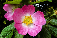 Wild Rose 12th-July-12 (linlaw39) Tags: pink summer flower nature yellow closeup scotland aberdeenshire wildrose 2012 lindal mintlaw july2012 sonydsctx9 12072012