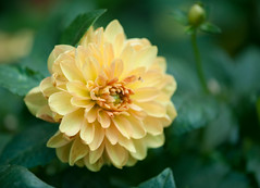 Dahlia in white-yellow (Pensive glance) Tags: dahlia plant flower nature fleur plante
