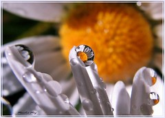 Srie: Bendita Chuva - que o sol brilhe em cada corao amigo!!! (Marlia Mag) Tags: rain daisies canon drops chuva gotas margaridas flickraward mygearandme ringexcellence dblringexcellence allnaturesparadise flickrstruereflection1 rememberthatmomentlevel1