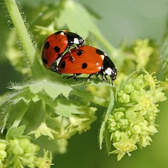 The Happy Couple (alphazeta) Tags: ladybird ladybug happycouple ladysmantle 7spotladybird crittersex