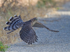 COOPER'S HAWK (sea25bill) Tags: california morning summer bird wildlife flight coopershawk