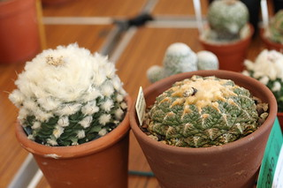 Obregonia denegrii & Ariocarpus fissuratus (Left to right)