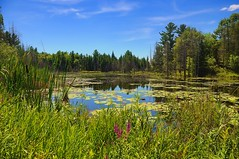 Views from the road in the cottage country (beyondhue) Tags: road summer ontario canada tree water grass forest landscape pond day lily view country cottage clear swamp wilderness beyondhue