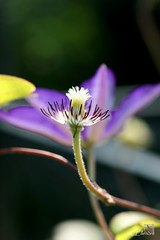 Klematis  / clematis (3) (Ellenore56) Tags: flowers light sun sunlight inspiration flower color colour detail macro reflection nature floral garden botanical licht photo flora focus foto emotion blossom magic natur perspective clematis vine bloom vista imagination outlook moment creeper blume makro blte magical sonne farbe reflexion garten ranunculaceae flowerpower perspektive reflektion waldrebe climbingplant dud augenblick fokus florescence botanik kletterpflanze klematis faszination sonnenlicht twiner clamberer nahtour bltenzauber pflanzenwelt natour sonya350 hahnenfusgewchs ellenore56 27072012