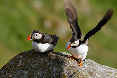 """""""Don't mind him, he's - special..."""" (Antje Schulte) Tags: norway norge norwegen puffin fraterculaarctica runde papageientaucher vogelinsel"""