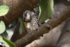 Scratch, scratch (Saurav Pandey) Tags: india bird nature birds bangalore owl karnataka sarjapur spottedowlet athenebrama bngbirds