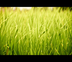 - Paddy or Asian rice (Rajanna @ Rajanna Photography) Tags: india green paddy chennai tamilnadu paddyfield rajanna rajannaphotography drrajanna