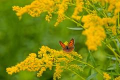 Yellow ([collin]) Tags: flower yellow butterfly cwd cwd2852 cwdweek285