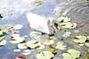 A Large Male Swan Feeding (Annette LeDuff) Tags: lake bird nature water swan cygnet top20nature muteswan naturegroup kensingtonmetropark faunaandflora wildwinglake withwater milfordmi photossansfrontières nikonflickraward colorsofthesoul photoannetteleduff annetteleduff mariposasbirdsflorafaunabutterfly 07262012