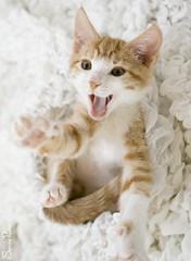 20110829_25165b (Fantasyfan.) Tags: pet cute animal topv111 pose paw furry topv333 kitten funny tabby yawn fluffy reach fantasyfanin heartmelting pelko highqualityanimals siirretty