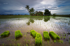 Reflection (Alex cheong) Tags: landscape gnd nd haida leefilter fe1635mm a7r sonya7r reflection nature paddyfield tanjungkarang malaysia sonymalaysia