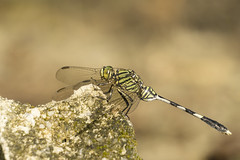 Orthetrum sabina (Just_hobby) Tags: sel55210 sonya6000 extensiontube dragonfly dof insect outdoor