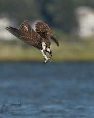 Juvi Osprey dive 8_15 (krisinct- Thanks for 12 Million views!) Tags: nikon d500 500 f4