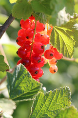 Almost Red Currants (gripspix (OFF)) Tags: 20160712 nature natur plant pflanze fruit frucht rotejohannisbeere ribesrubrum redcurrants