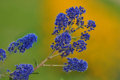 Californian Lilac, (Ceanothus) (natureloving) Tags: ceanothus californianlilac flower macro nature flowersinfrance fleursenfrance flowersineurope natureloving nikon d90 afsvrmicronikkor105mmf28gifed