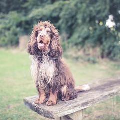 Jasper (johnlgardiner) Tags: lightroom cocker spaniel dog animal