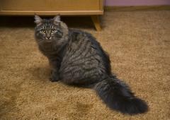 Puff in Bedroom 1 (dblees) Tags: cat gato chat kitty  koka kat kissa katze gatto kot pisic maka katt  kedi con mo       gata