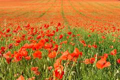 Poppy Field (murphy197) Tags: poppy red poppyfield hitchin hertfordshire nikon nikond7100 anneflaherty