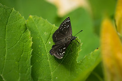 Common Sootywing(Pholisora catullus)