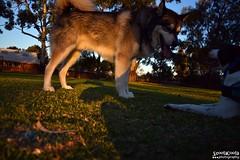DSC_0039-1 (ScootaCoota Photography) Tags: dog pet animal border collie labrador park play outdoors nature malamute