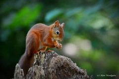 Red Squirrel - Isle of Wight (Alan Woodgate) Tags: