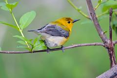 Prothonotary Warbler (av8s) Tags: prothonotarywarbler warbler songbirds perchingbirds birds wildlife nature photography nikon d7100 sigma 120400mm mageemarsh ohio oh