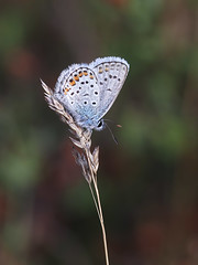 Silver-studded Blue (chaz jackson) Tags: silverstuddedblue plebejusargus blue insect lycaenidae butterfly macro macedonia