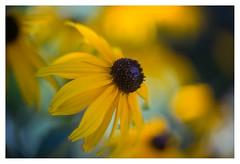 Rudbeckia (leo.roos) Tags: yellow geel rudbeckiafulgida rudbeckia gelezonnehoed coneflower blackeyedsusan a7 astroberlin astrokinocolorv5015 projectionlens projector darosa leoroos