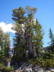 Pinus albicaulis (Matt Lavin) Tags: pinusalbicaulis whitebarkpine pinaceae native tree tetonrange subalpine alaskabasin