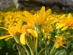 Arnica longifolia (Matt Lavin) Tags: arnicalongifolia asteraceae native perennial herb grandtetonnationalpark tetonrange subalpine alpine spearleafarnica