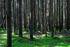 Find your way (Ib Aarmo) Tags: forest woods trees green spruce light shadows outdoor nature