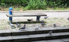 Columba livia --  Pigeons 4400 (2) (Tangled Bank) Tags: japan japanese asia asian kyoto city acquarium aquarium columba livia pigeons 4400 2 birds