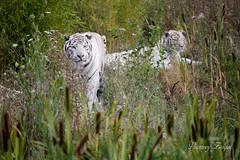 15-08-19_D_17h54'56''_Lumigny-Nesles-Ormeaux_Canon EOS 5D Mark III_281A4592 (vianney.zaique) Tags: animaux parcanimalier parcdesflins tigreblanc lumignyneslesormeaux