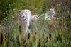 15-08-19_D_17h54'56''_Lumigny-Nesles-Ormeaux_Canon EOS 5D Mark III_281A4592 (vianney.zaique) Tags: animaux parcanimalier parcdesfélins tigreblanc lumignyneslesormeaux