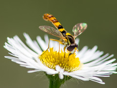 Hoverfly on a camomile (Ivan Radic) Tags: olympusomdem10 canonfd200mmf4macro canon fd 200mm f4 macro olympus omd em10 blurrybackground hoverfly camomile kamille flower blume schwebefliege closeup nahaufnahme makro magnification vergröserung insect insekt mft microft micro43 mirrorless spiegellos ilc evil csc systemkamera systemcamera format