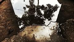 Reflection of a tree on water #splendid #reflection (abhishekskumar) Tags: reflection splendid