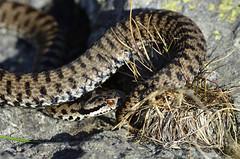 Marasso - Vipera berus (AndreaFerrari79) Tags: marasso vipera berus