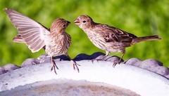Not So Fast, Sister (robinlamb1) Tags: bird animal nature finch housefinches outdoor birdbath backyard aldergrove bc