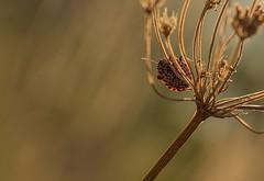 Sunny bug (nickneykov) Tags: nikond750 nikon d750 tamron 90mm macro sunset sun bulgaria bugs