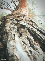 #natuer #tree #pine (nemeralbakkar) Tags: pine tree natuer