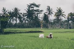 Rice Fields (cee4star) Tags: countryside travel 1855 color bali ubud indonesia fuji xpro2 ricefields rural xf fujifilm colour people candid man kneeling farmer working landscape trees nature