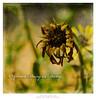 African Daisy in Decay (Dave Whiteman - AU) Tags: africandaisy deadflower osteospermum texture