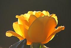 glowing rose (sabrina. G) Tags: rose glhend licht gelb makro garten