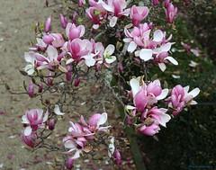 Pasa o tempo II - Promesa de primavera (gatetegris) Tags: flores tree arbol magnolio magnolia flowers earlyspring nature natureza nayuraleza betanzos pasatiempo pasatempo parquedopasatempo parquedelpasatiempo corua acorua galicia galiza spain