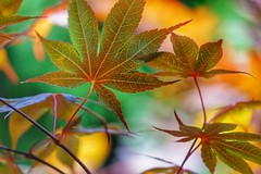 Maple leaves (JPShen) Tags: leaf leaves maple autumn bokeh colorful
