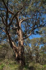 Gum tree (Joybelle007) Tags: gumtree