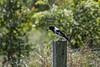 Pied Butcherbird (Geoffsnaps) Tags: nikond810 nikon d810 fx gitzogm5541carbonmonopod gitzo gm5541 carbon monopod acratechpanoramichead monopodhead acratech panoramic head burgesspark burges park scenicrim queensland butcherbird butcher bird piedbutcherbird pied