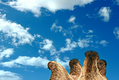 of camels and clouds (khogno khan, mongolia) (bloodybee) Tags: 365project khognokhan mongo mongolia asia travel camel animal hump hair sky clouds blue white brown