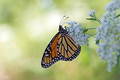 Monarch Butterfly (Danaus plexippus) (Douglas Heusser) Tags: photo wildlife nature lens 90mm tamron photography macro canon no point may cape lepidoptera plexippus danaus butterfly monarch